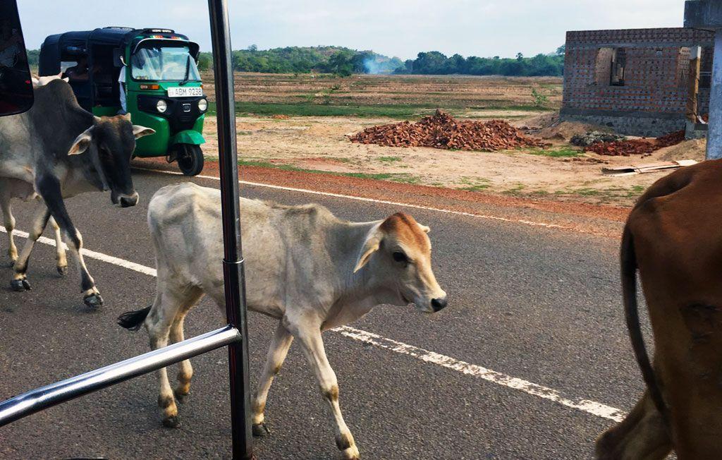 animales en la carretera en Sri Lanka